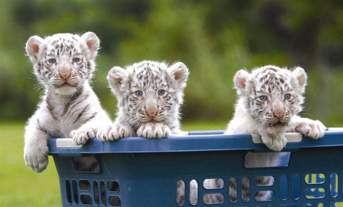 Baby white siberian tiger « Nat Geo Adventure