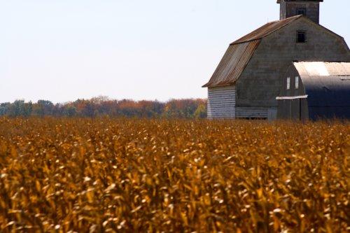 Illinois cornfield