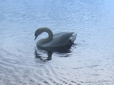 Swan on lake by http://DearMissMermaid.com copyright by Dear Miss Mermaid