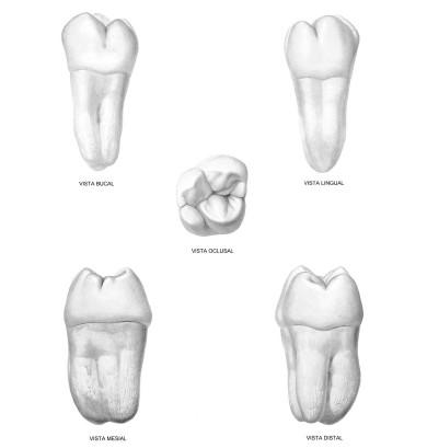 Tutorial Anatomía Cabeza y Cuello: Tercer Molar Superior