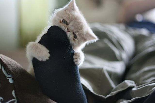 funny cats pictures, cat eats sock