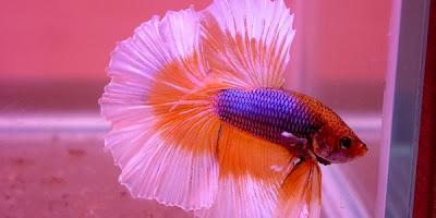Cara Budidaya Ikan Cupang Hias