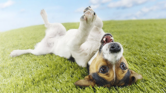 Wallpaper with a funny dog on his back on the grass