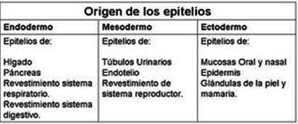 Plantão Médico: HISTOLOGÍA TEJIDO EPITELIAL DE REVESTIMIENTO Y GLANDULAR