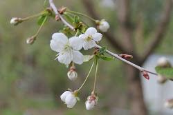 Kirsikat alkoivat kukkimaan 20.5.2012 Tampereella