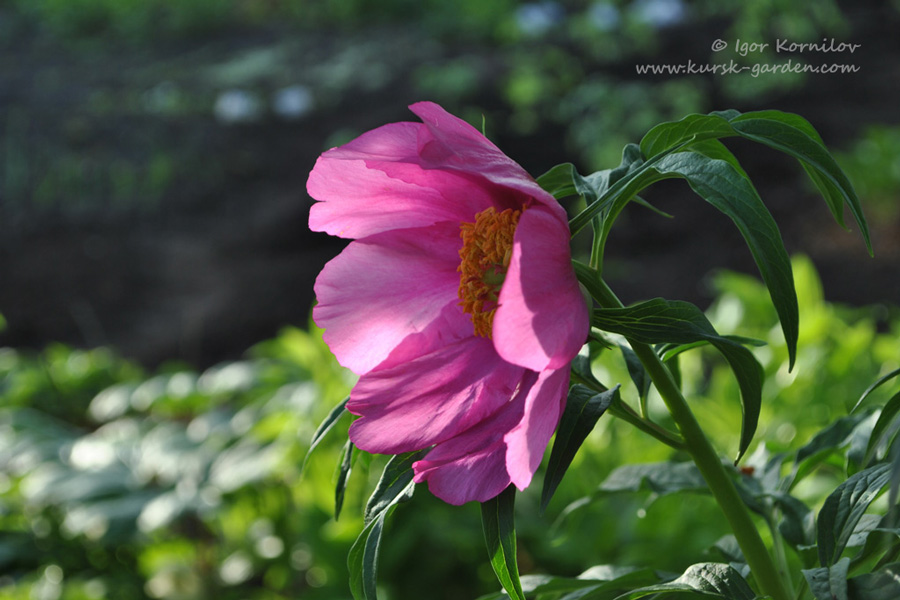 Пион уклоняющийся (Paeonia anomala)
