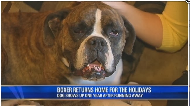 Baby boxer dog lost dogs found baby boxer
