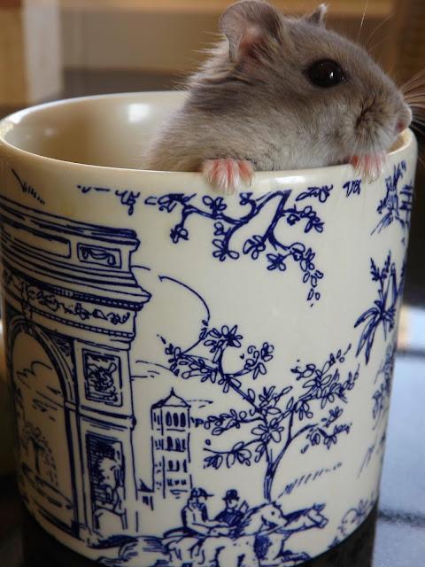 dwarf hamster,winter white hamster,hamster in a mug,dwarf hamster