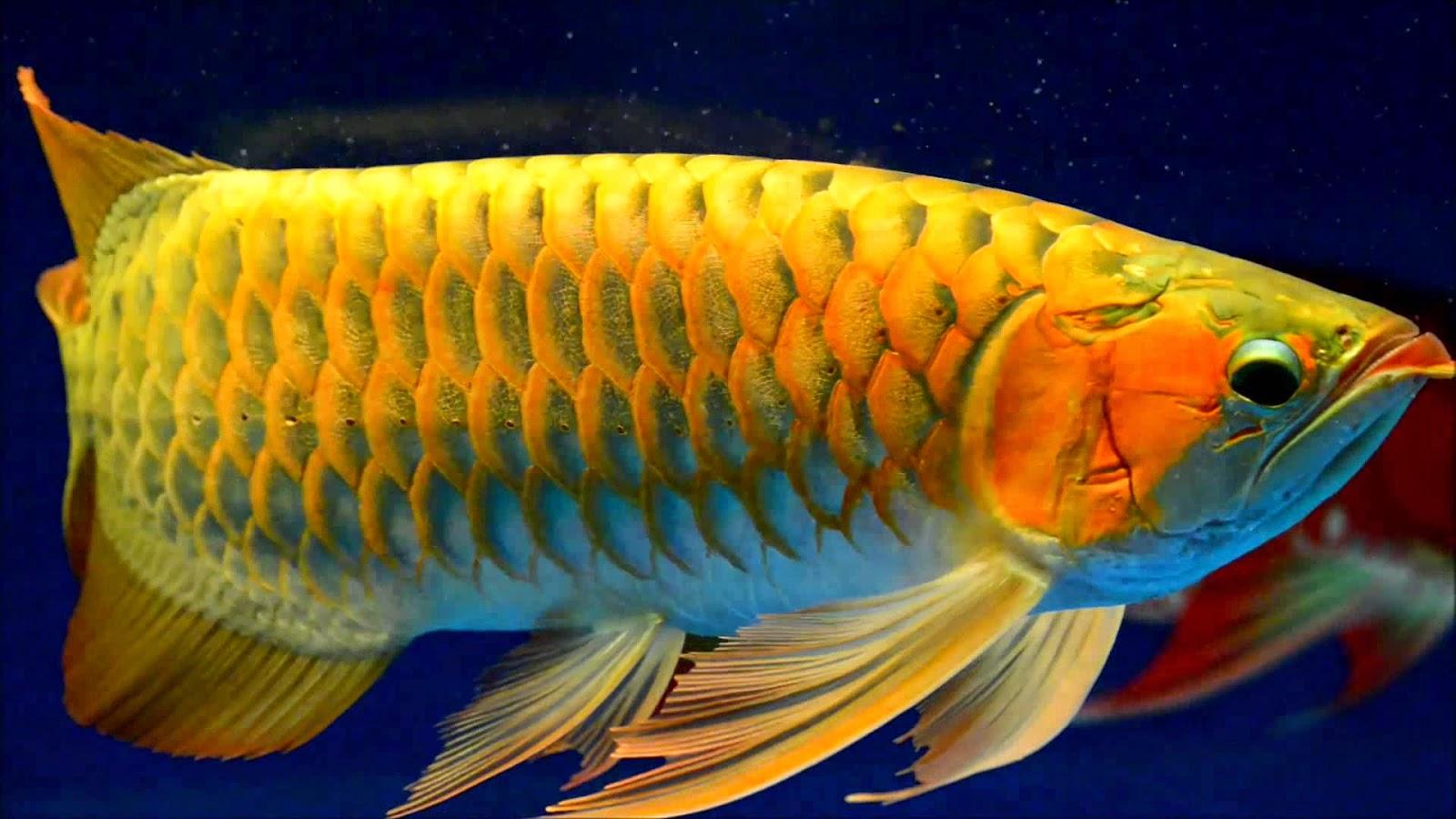 gold arowana graphics images hd