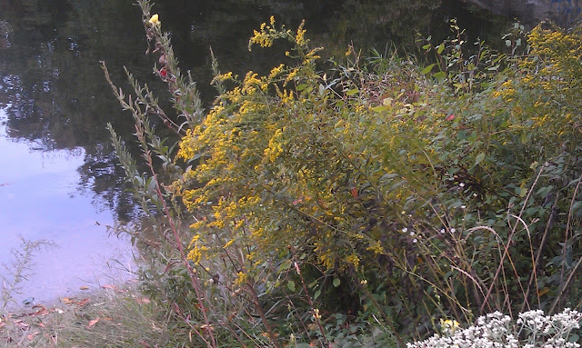 yellow fall bushes