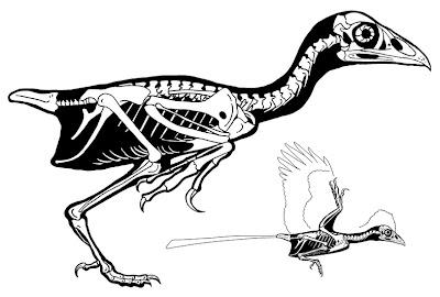 esqueleto de Changchengornis
