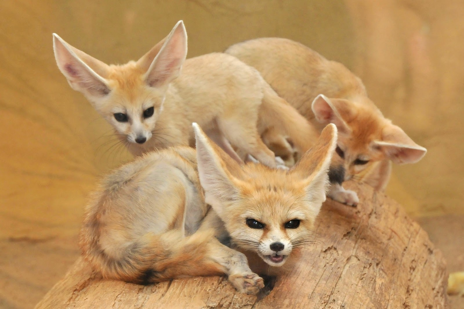Fennec Fox  White Pet Fox