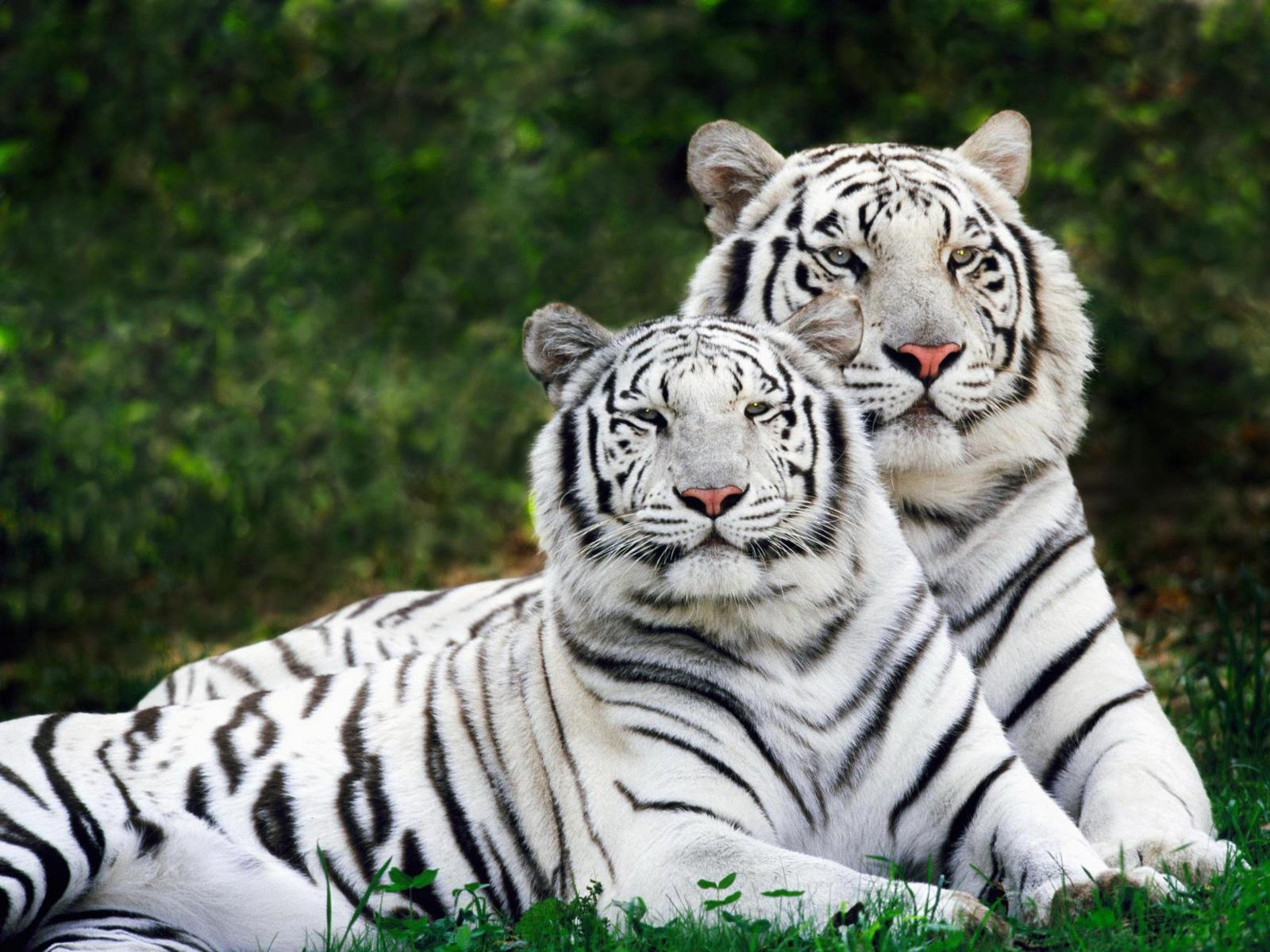 beautiful wallpaper: White Tigers Wallpapers