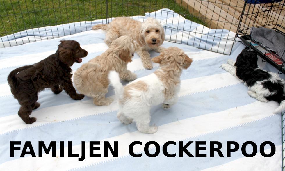 <center>Familjen Cockerpoo</center>