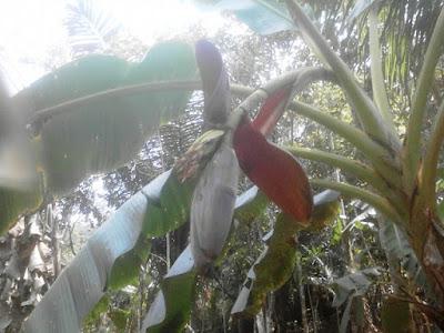 Cara Pemupukan Dan Pemeliharaan Pohon Pisang