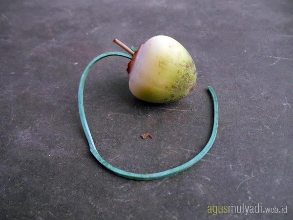 Bluluk kelapa