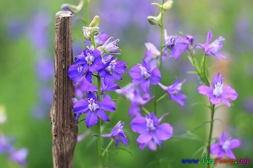 Ý nghĩa Hoa Violet - Hoa Phi Yến