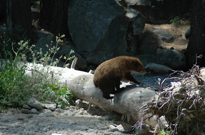 camping sequoia bear catching fish