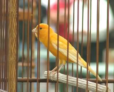 burung kenari arogan