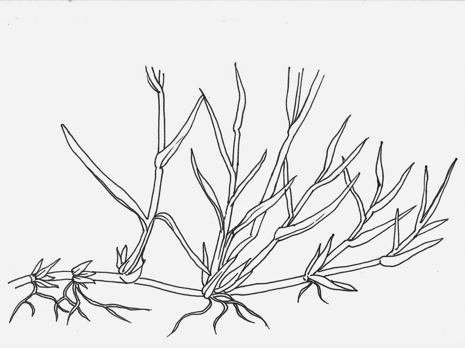 Camassia Quamash Drawing Noel's Garden Blog