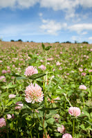 Clover cover crop (Credit: Environ Health Perspectives) Click to Enlarge.