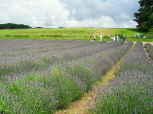 accessible day out sussex, wheelchair access, chichester, lavender field.