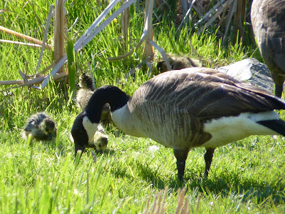 mom and goslings