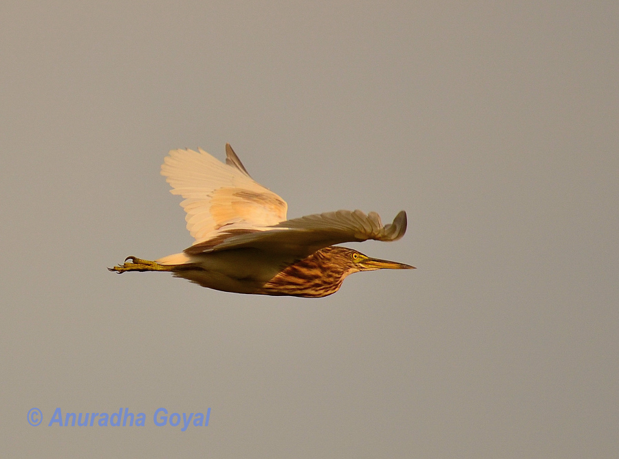 Pond Heron bird in-flight, Goa