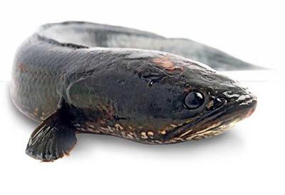 Kanker, Gagal Ginjal, Stroke, Tuberkolusis, dan Diabetes Bisa Disembuhkan Dengan Ikan Gabus