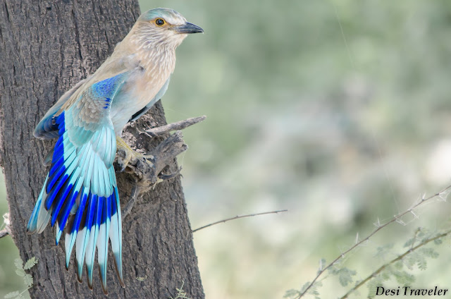 colorful bird spreading wings in tal chhapar