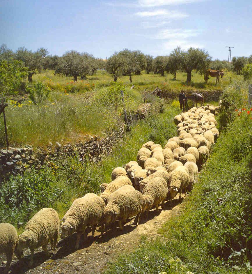 Lo que me interesa: Rebaño de ovejas