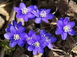 Smukke anemoner