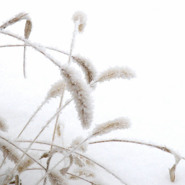 Snow Covered Prairie Weeds - Snow Photograph