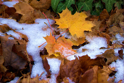 Осенние листья клена в снегу