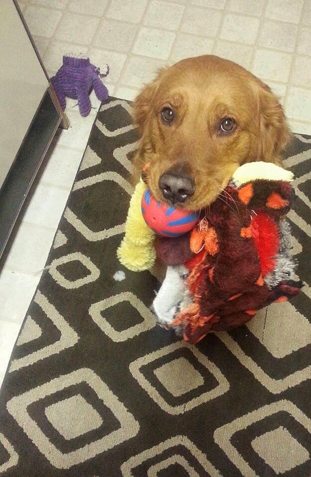 Cute dogs - part 6 (50 pics), dog with his mouth full of toys