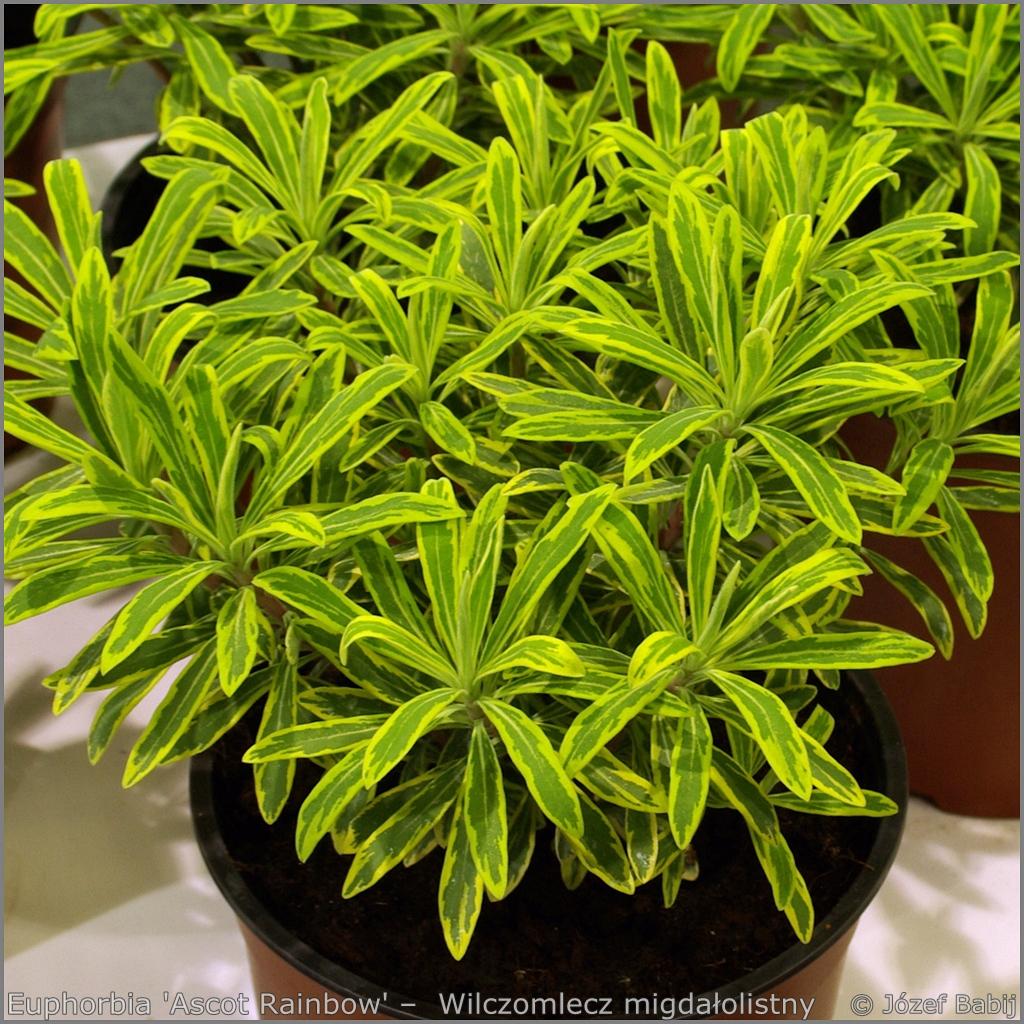Euphorbia 'Ascot Rainbow' –  Wilczomlecz 'Ascot Rainbow'