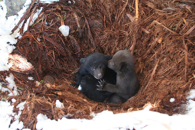 This image shows black bear cubs in study area. Credit: Jon Beckmann/WCS