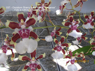 "Oncidium Sharry Baby Sweet""Fragance"" do blogdabeteorquideas"