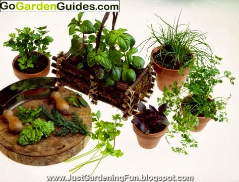 Potted Green Garden Herbs Picture
