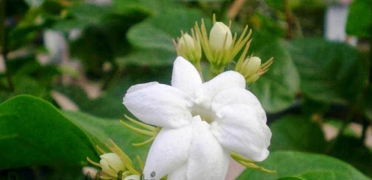Manfaat Bunga Melati Untuk Obat Kesehatan Tubuh