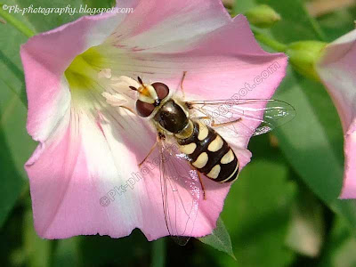 Insect Pollinators