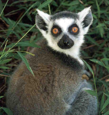lemurs pics