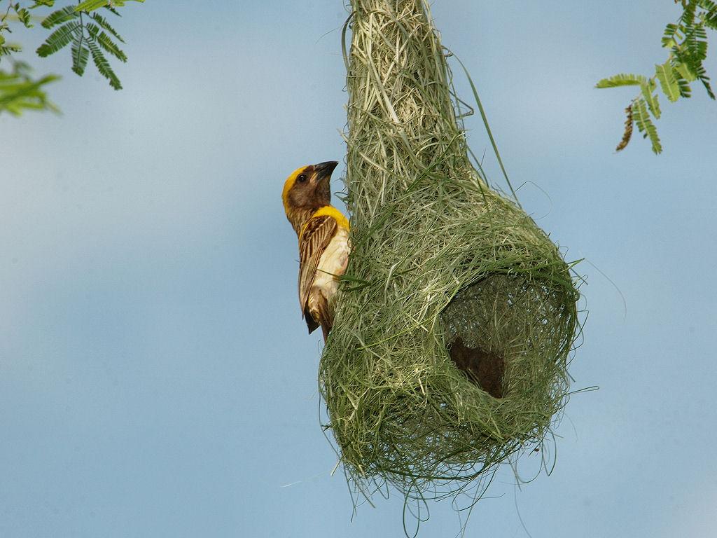 Baya Weaver: Amazing Indian Weaver Bird known for Artistic ... Bird Nest With Bird