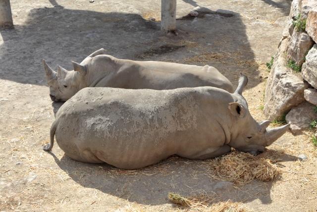 Rinocerontes del Selwo Aventura de Estepona
