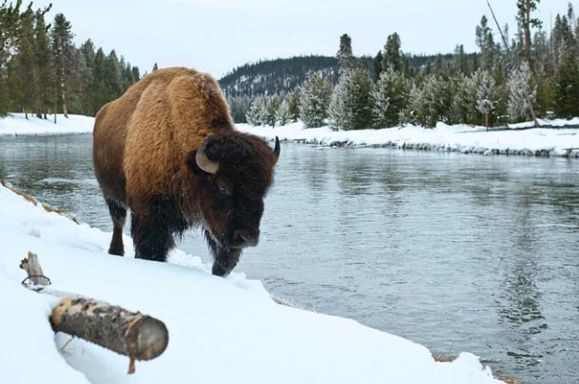 A bison by the lake