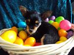 Yorkie-Chihuahua or (Chorkie) female puppy