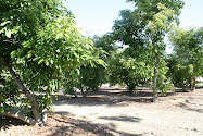Our Avocado Grove