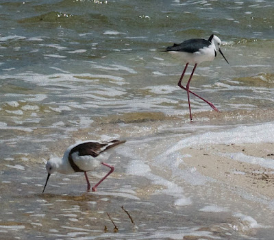 Banded and White-headed Stilts