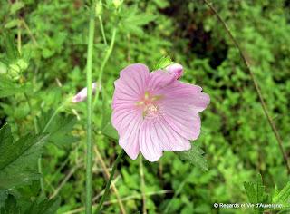 fleur de mauve