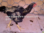 Ayam Petarung Jantan